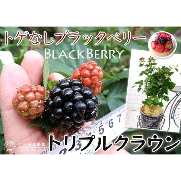 トゲなし ブラックベリー 『 トリプルクラウン 』 9cmポット苗 produce87 05