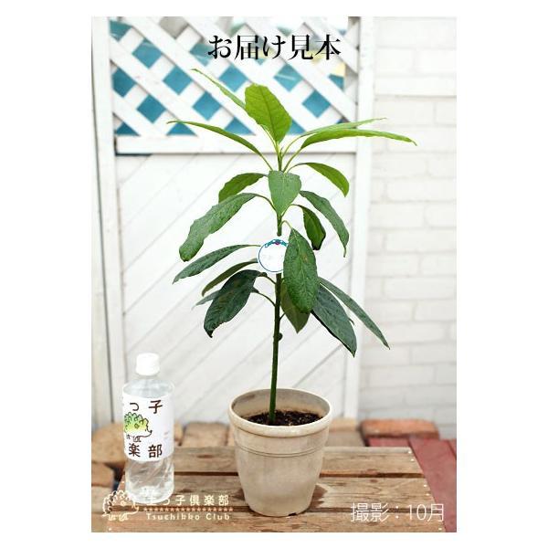 アボカド 『 ハス 』 2年生 実生苗 5号鉢植え 希少 (アボガド)|produce87|02