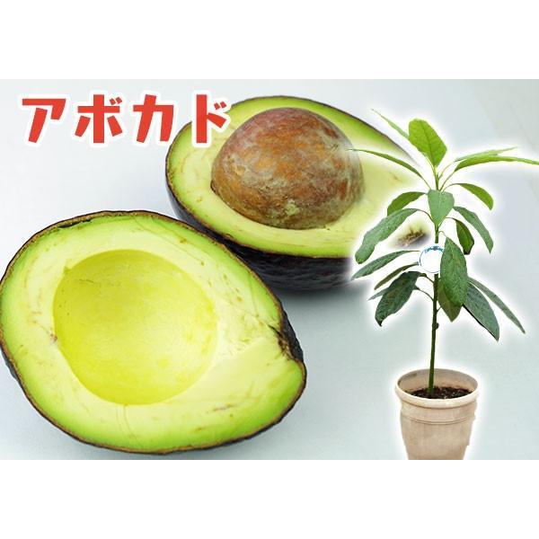 アボカド 『 ハス 』 2年生 実生苗 5号鉢植え 希少 (アボガド)|produce87|06