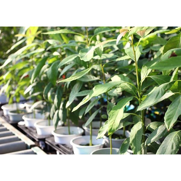 アボカド 『 ハス 』 2年生 実生苗 5号鉢植え 希少 (アボガド)|produce87|07