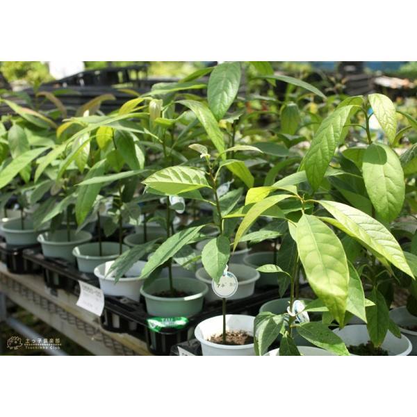 アボカド 『 ハス 』 2年生 実生苗 5号鉢植え 希少 (アボガド)|produce87|08