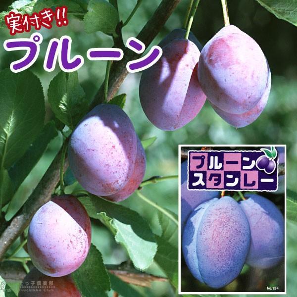 《実付き》 プルーンの木 『 スタンレイ 』 6号鉢植え(数量限定!!)|produce87