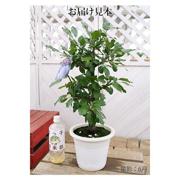 《実付き》 プルーンの木 『 スタンレイ 』 6号鉢植え(数量限定!!)|produce87|02