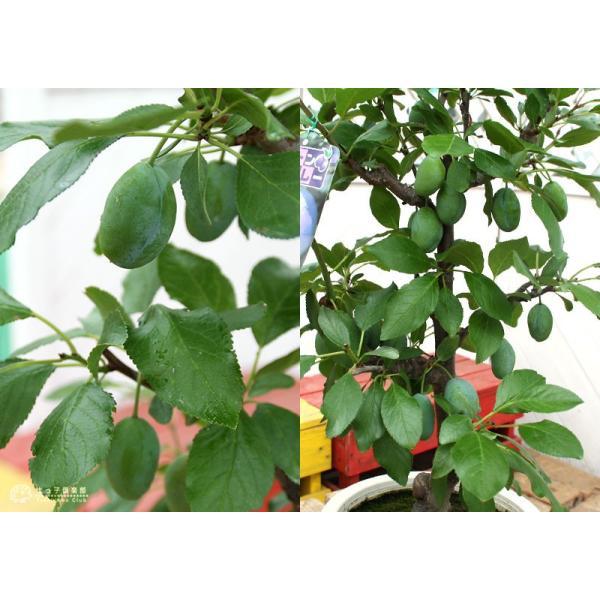 《実付き》 プルーンの木 『 スタンレイ 』 6号鉢植え(数量限定!!)|produce87|04