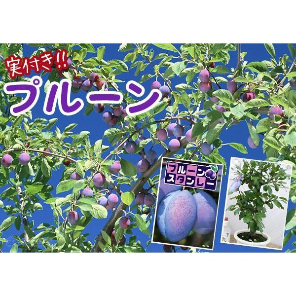 《実付き》 プルーンの木 『 スタンレイ 』 6号鉢植え(数量限定!!)|produce87|05