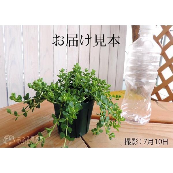 ミニ観葉 『 アロマペペ 』 ( ペペロミア・デピーナ) 7.5cmポット苗|produce87|02