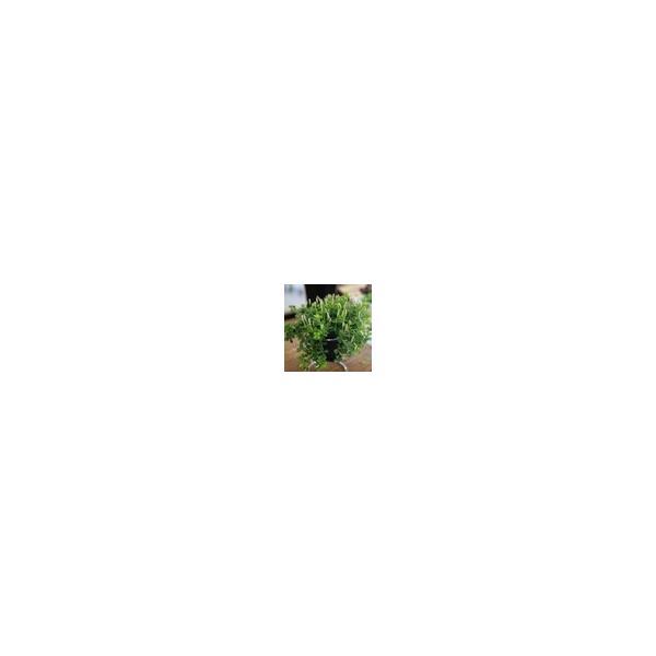 ミニ観葉 『 アロマペペ 』 ( ペペロミア・デピーナ) 7.5cmポット苗|produce87|04