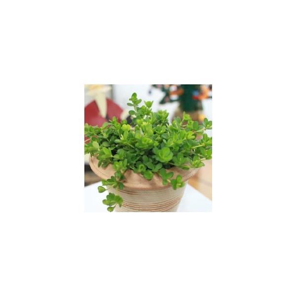ミニ観葉 『 アロマペペ 』 ( ペペロミア・デピーナ) 7.5cmポット苗|produce87|05