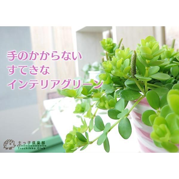 ミニ観葉 『 アロマペペ 』 ( ペペロミア・デピーナ) 7.5cmポット苗|produce87|06