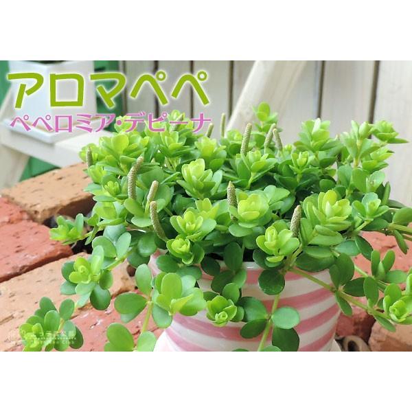 ミニ観葉 『 アロマペペ 』 ( ペペロミア・デピーナ) 7.5cmポット苗|produce87|08