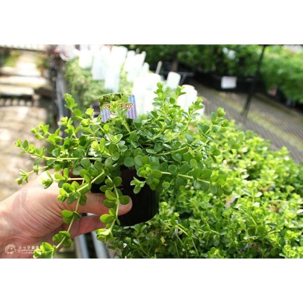 ミニ観葉 『 アロマペペ 』 ( ペペロミア・デピーナ) 7.5cmポット苗|produce87|09