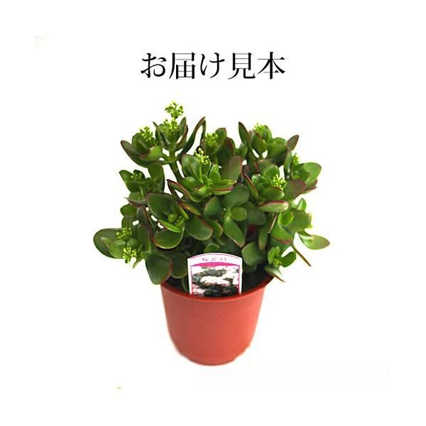 花咲く 多肉植物 『 桜花月 ( サクラカゲツ ) 』  11cm鉢 花芽付き|produce87|02