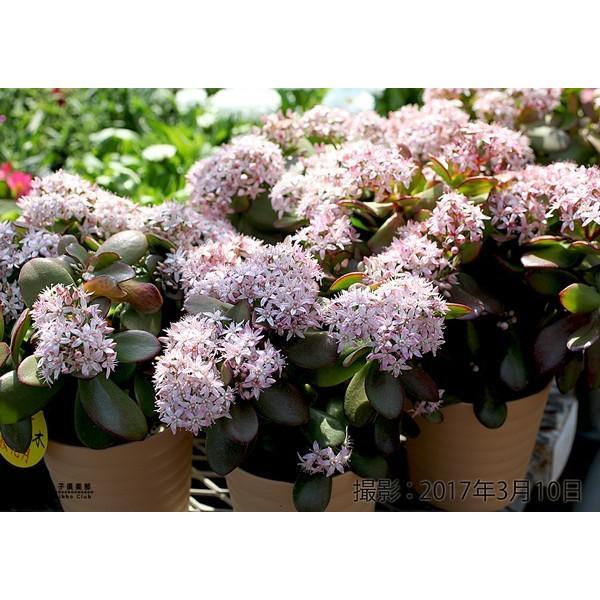 花咲く 多肉植物 『 桜花月 ( サクラカゲツ ) 』  11cm鉢 花芽付き|produce87|11