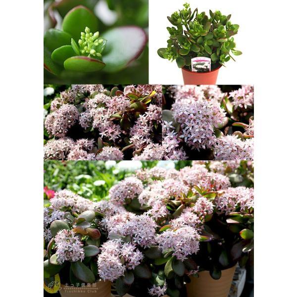 花咲く 多肉植物 『 桜花月 ( サクラカゲツ ) 』  11cm鉢 花芽付き|produce87|03