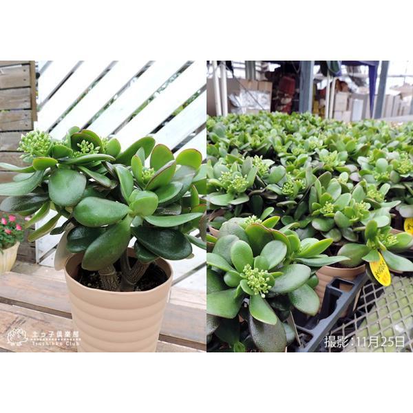 花咲く 多肉植物 『 桜花月 ( サクラカゲツ ) 』  11cm鉢 花芽付き|produce87|04