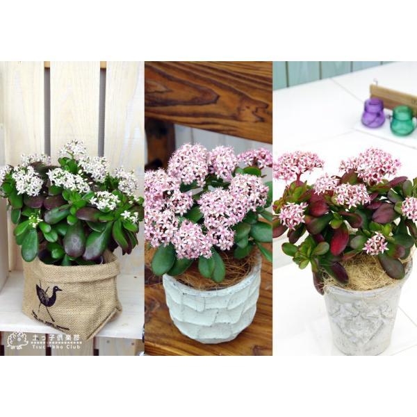 花咲く 多肉植物 『 桜花月 ( サクラカゲツ ) 』  11cm鉢 花芽付き|produce87|05
