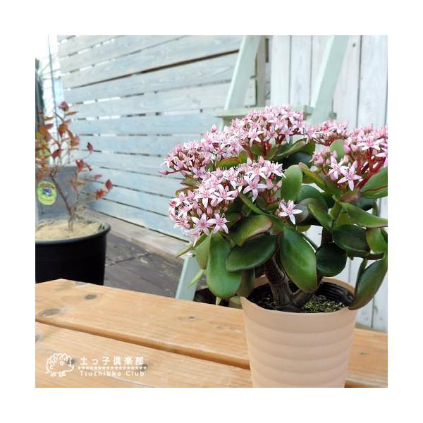 花咲く 多肉植物 『 桜花月 ( サクラカゲツ ) 』  11cm鉢 花芽付き|produce87|06
