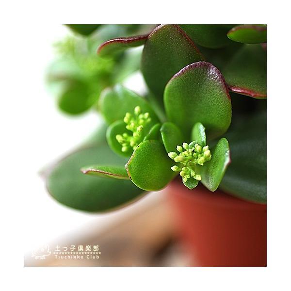 花咲く 多肉植物 『 桜花月 ( サクラカゲツ ) 』  11cm鉢 花芽付き|produce87|07