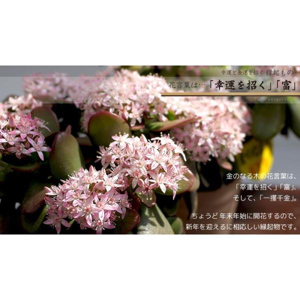 花咲く 多肉植物 『 桜花月 ( サクラカゲツ ) 』  11cm鉢 花芽付き|produce87|09