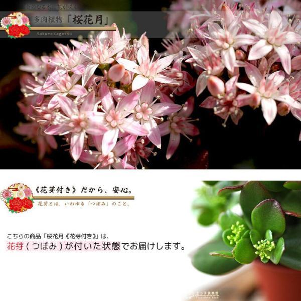 花咲く 多肉植物 『 桜花月 ( サクラカゲツ ) 』  11cm鉢 花芽付き|produce87|10