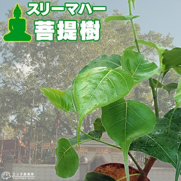 インド菩提樹 『 スリーマハー・ボダイジュ 』 12cmポット苗 produce87