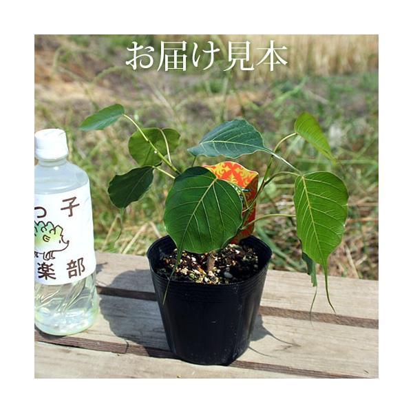 インド菩提樹 『 スリーマハー・ボダイジュ 』 12cmポット苗 produce87 02