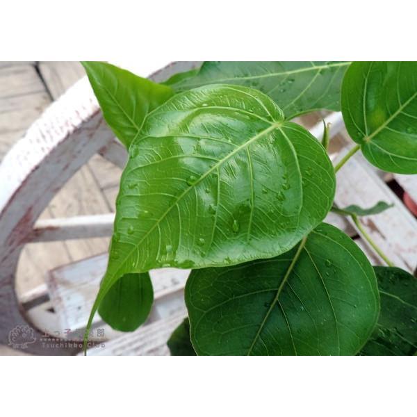インド菩提樹 『 スリーマハー・ボダイジュ 』 12cmポット苗 produce87 03