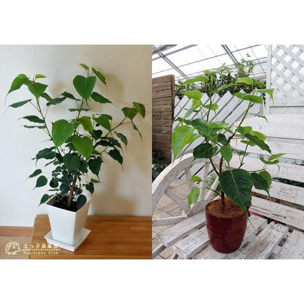 インド菩提樹 『 スリーマハー・ボダイジュ 』 12cmポット苗 produce87 04