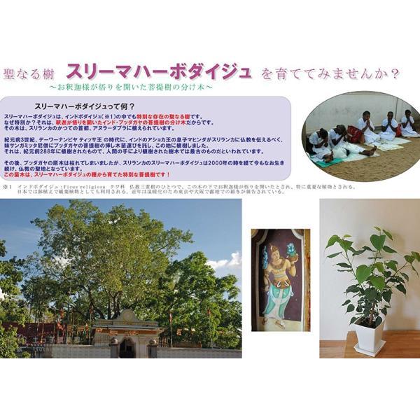インド菩提樹 『 スリーマハー・ボダイジュ 』 12cmポット苗 produce87 05