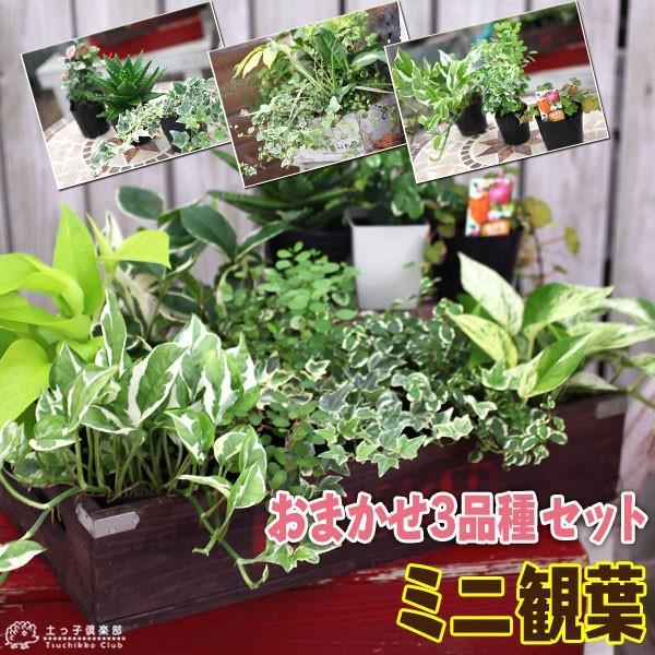 ミニ観葉 『 おまかせ 3品種セット 』 9cmポット ( 観葉植物3個セット )|produce87