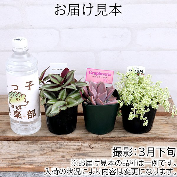 ミニ観葉 『 おまかせ 3品種セット 』 9cmポット ( 観葉植物3個セット )|produce87|02