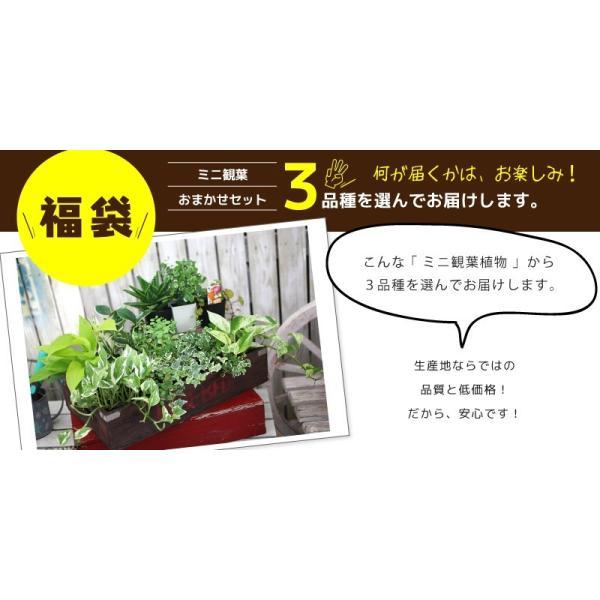 ミニ観葉 『 おまかせ 3品種セット 』 9cmポット ( 観葉植物3個セット )|produce87|03