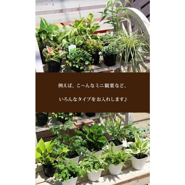 ミニ観葉 『 おまかせ 3品種セット 』 9cmポット ( 観葉植物3個セット )|produce87|04