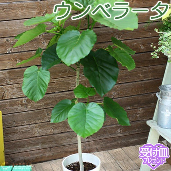 ウンベラータ 7号鉢 ( 受け皿プレゼント付き )|produce87