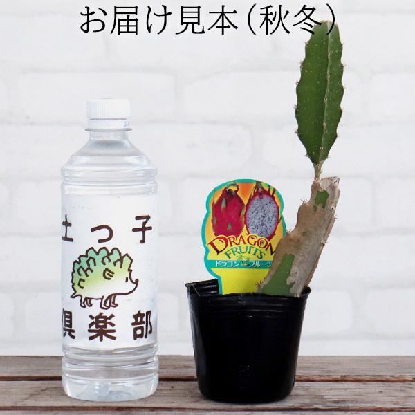ドラゴンフルーツ ホワイトドラゴン 9cmポット苗|produce87|02