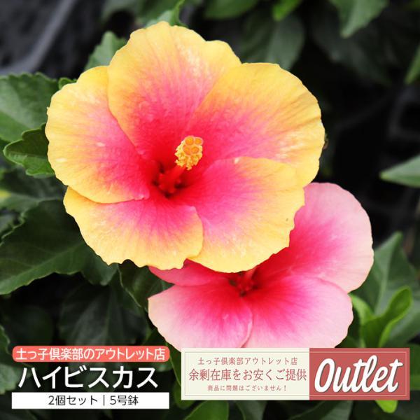 【訳あり・在庫処分】ハイビスカス 5号鉢 2品種セット