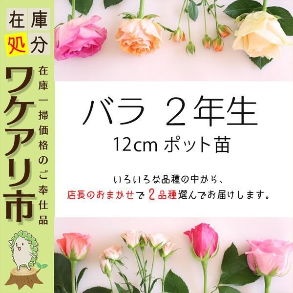 【訳あり・在庫処分】 バラ 2年生 12cmポット苗 ( 2品種セット )|produce87|02