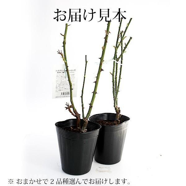 【訳あり・在庫処分】 バラ 2年生 12cmポット苗 ( 2品種セット )|produce87|03