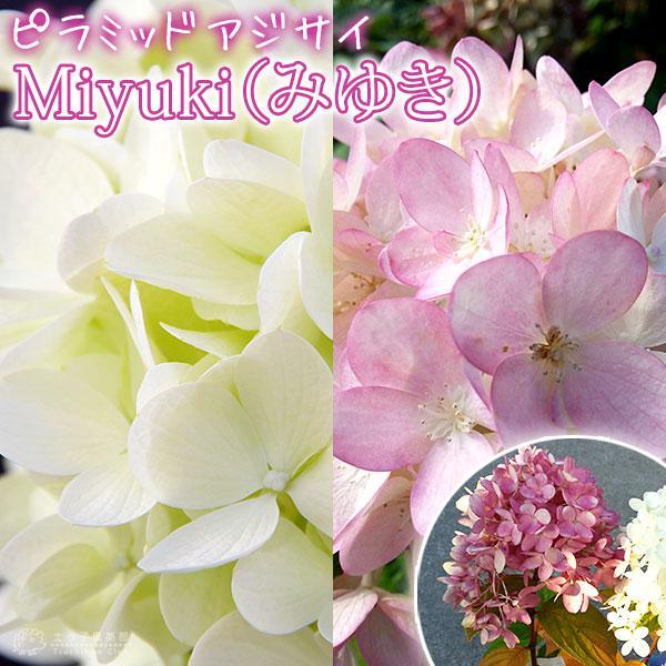 アジサイ  『 ピラミッドアジサイ Miyuki ( みゆき ) 』 10.5cmポット苗 produce87