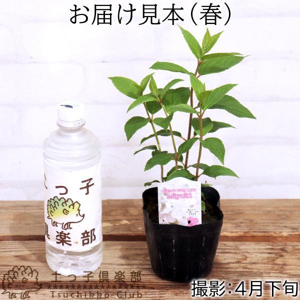 アジサイ  『 ピラミッドアジサイ Miyuki ( みゆき ) 』 10.5cmポット苗 produce87 02