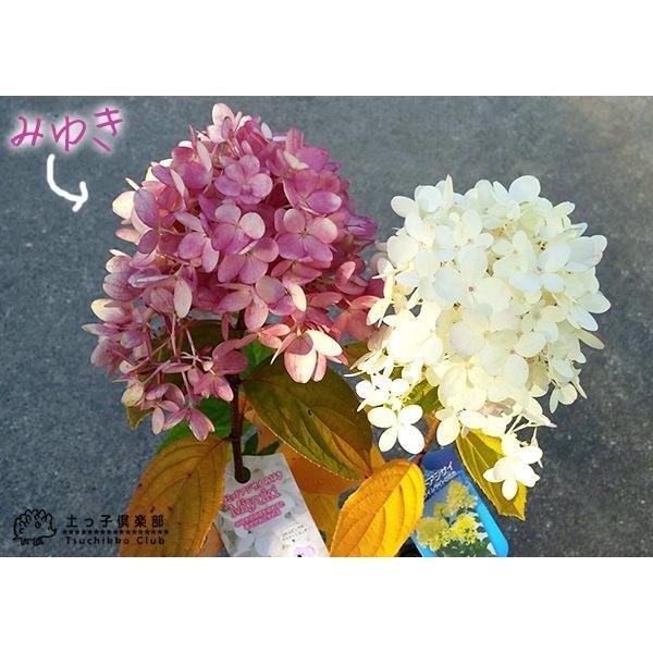 アジサイ  『 ピラミッドアジサイ Miyuki ( みゆき ) 』 10.5cmポット苗 produce87 04