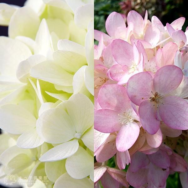 アジサイ  『 ピラミッドアジサイ Miyuki ( みゆき ) 』 10.5cmポット苗 produce87 06