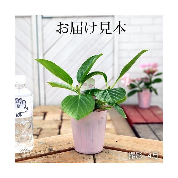 八重咲きアジサイ 『ダンスパティ』 10.5cmポット苗 2個セット 送料無料|produce87|02