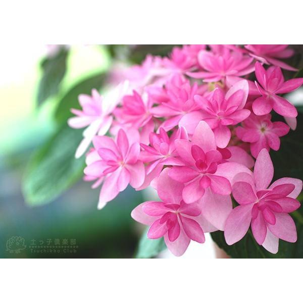 八重咲きアジサイ 『ダンスパティ』 10.5cmポット苗 2個セット 送料無料|produce87|03