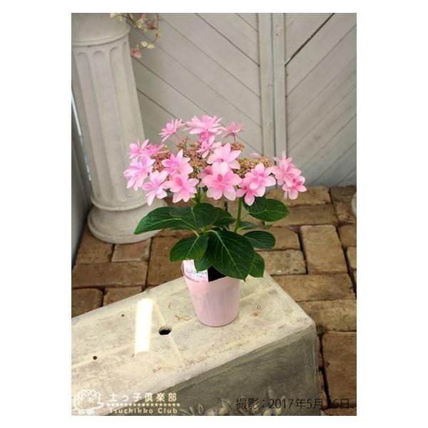 八重咲きアジサイ 『ダンスパティ』 10.5cmポット苗 2個セット 送料無料|produce87|06
