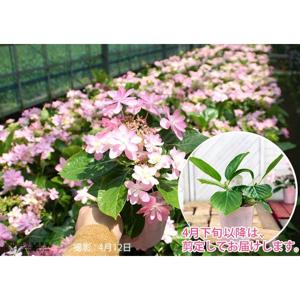 八重咲きアジサイ 『ダンスパティ』 10.5cmポット苗 2個セット 送料無料|produce87|09