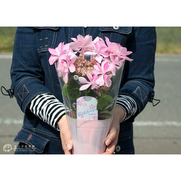八重咲きアジサイ 『ダンスパティ』 10.5cmポット苗 2個セット 送料無料|produce87|10