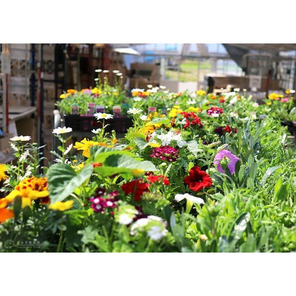 春夏の花苗 24個セット ( 送料無料 ) produce87 14