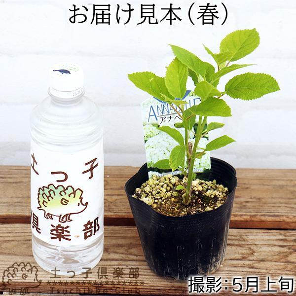 アジサイ アナベル 白 10.5cmポット苗|produce87|02