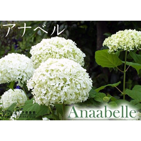 アジサイ アナベル 白 10.5cmポット苗|produce87|05